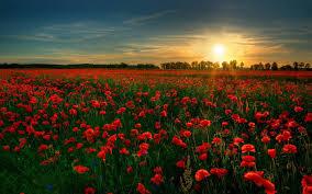 polje ruža