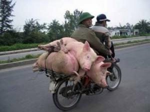 glz-svinje