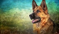 stock-photo-drawing-german-shepherd