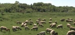 stado-ovce-640x300